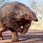 Pangolinul: cel mai traficat animal de pe planetă (după om)