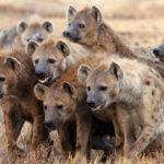 O haită de hiene a reușit să modifice Legea Junglei