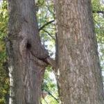 La pomul enamorat să nu te duci cu drujba