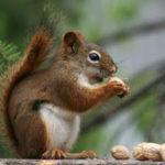 Știați că veverițele au o memorie de elefant? Nu, nu știați