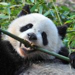 Veganii, acești urși panda ai omenirii